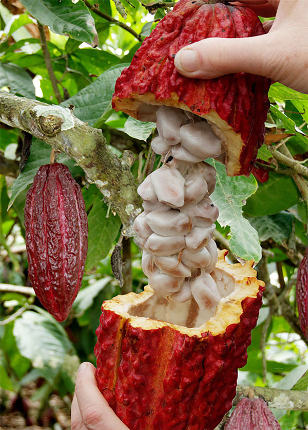 「カカオの木の苗木 10.5cmポット苗 お買い得2個セット」耐寒性は無く鉢植えで温度管理して栽培可能です。室内でのオシャレな観葉植物としても人気のトロピカル果樹です。果実はラグビーボールのような形をしており、「カカオポッド」と呼ばれます。