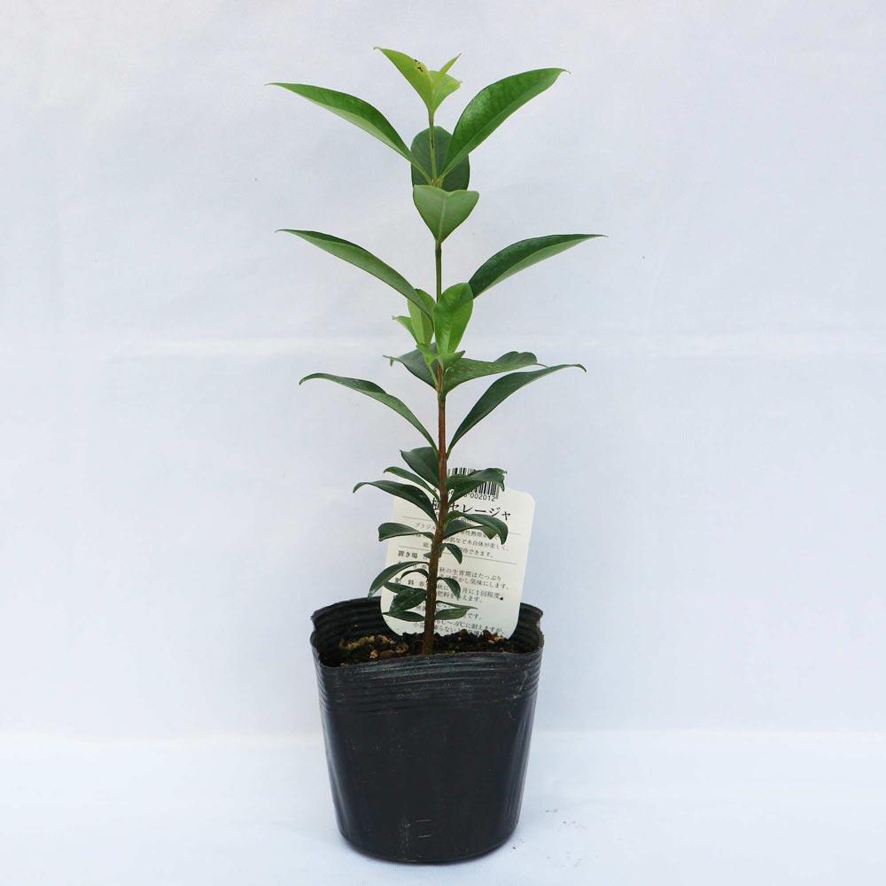 【送料無料】セレージャ(ブラジルのイチゴの木)の苗木【果樹苗 10.5cmポット/2個セット】希少価値あり!!青果はなかなか出回らないので自分で育てるしかないブラジル原産のトロピカル果樹!!1果の大きさは2〜3cm。