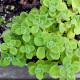 【送料無料】アロマティカスの苗 【ハーブの苗 10.5cm  /お買い得3個セット】ハーブ苗 苗 かんたん栽培 栽培 ガーデニング