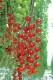 【送料無料・即出荷】実割れしにくいすずなりトマトの苗(赤ミニトマト)【9cmポット自根苗/2個セット】野菜苗 ミニトマト苗 みにとまと苗 プチトマト苗 家庭菜園 ガーデニング ベランダ 露地栽培 簡単栽培 鉢植え プランター tomato 多収穫 送料無料