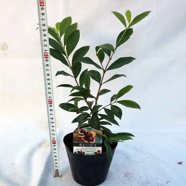 「セレージャ(ブラジルのイチゴの木)の苗木 12cmポット大苗 1個売り」希少価値あり!!青果はなかなか出回らないので自分で育てるしかないブラジル原産のトロピカル果樹!!1果の大きさは2〜3cm。自社農場から新鮮出荷!!ポット苗なのでほぼ年中植付け可能!!即出荷!!