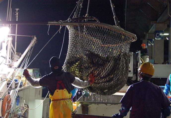 知床羅臼《銀毛鮭》 羅皇(らおう:RAOU)         新巻鮭(山漬け製法) 3.5〜3.7kg前後