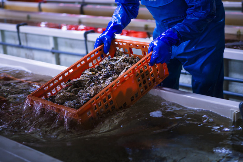【ギフトに最適】「特選印」500g以上確約・のし付き極大岩牡蠣2個のセット
