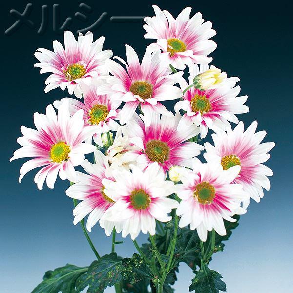 【10月下旬お届け】●二度咲き変わり菊 3種3株
