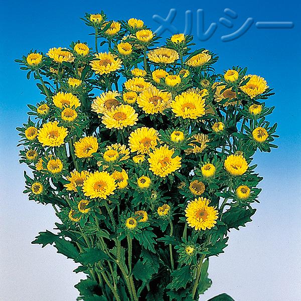 【10月下旬お届け】☆アスター 松本 4色20株