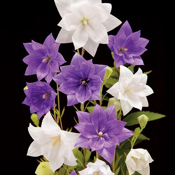 【10月下旬お届け】●八重咲ききょう 2色4株