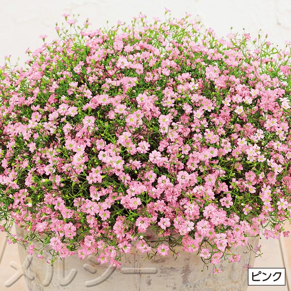 【10月下旬お届け】☆カスミソウ ジプシー 3種6株