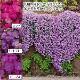 【10月下旬お届け】☆オーブリエチア 3色12株