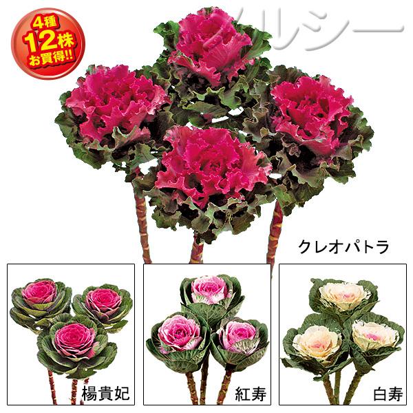 【10月下旬お届け】☆◇葉牡丹 高性種 4種12株