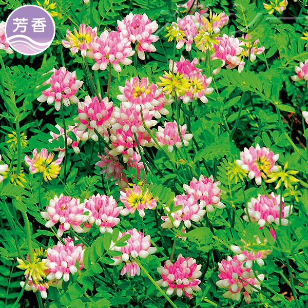 【10月下旬お届け】●玉咲草藤 3株
