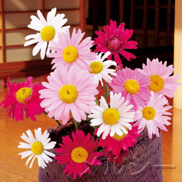 【10月下旬お届け】●除虫菊 一重咲き 3色3株
