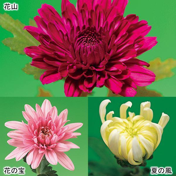 【10月下旬お届け】●菊 二度咲き大輪菊 3種3株