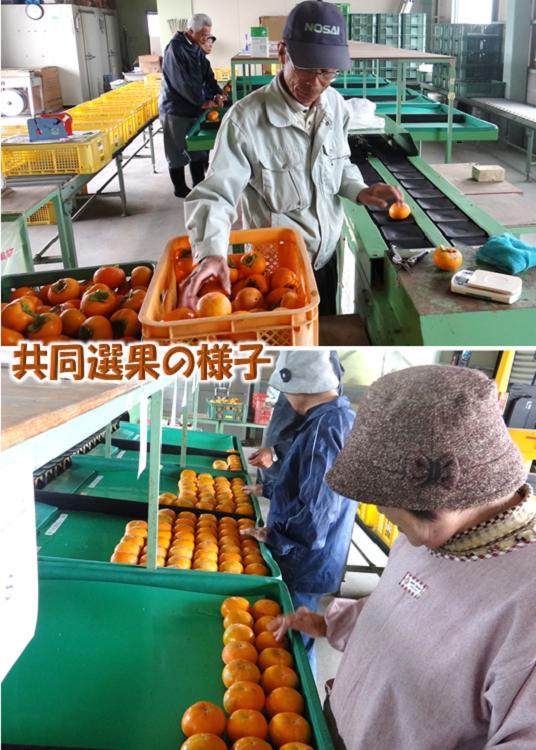 特選 富有柿 10kg箱入