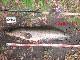 公式 スケーラー KDS ミニロッド 2m 雷魚 ライギョ フロッグ 90UP メジャー MN25-02