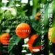 そらブラッドオレンジ【農家直送 /国産】3kg 送料無料