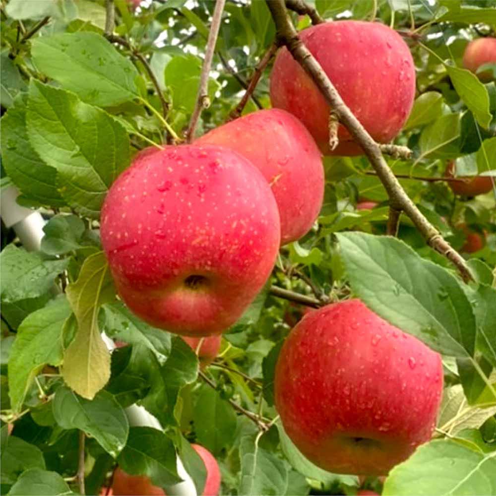 りんごどら焼き(5個入)