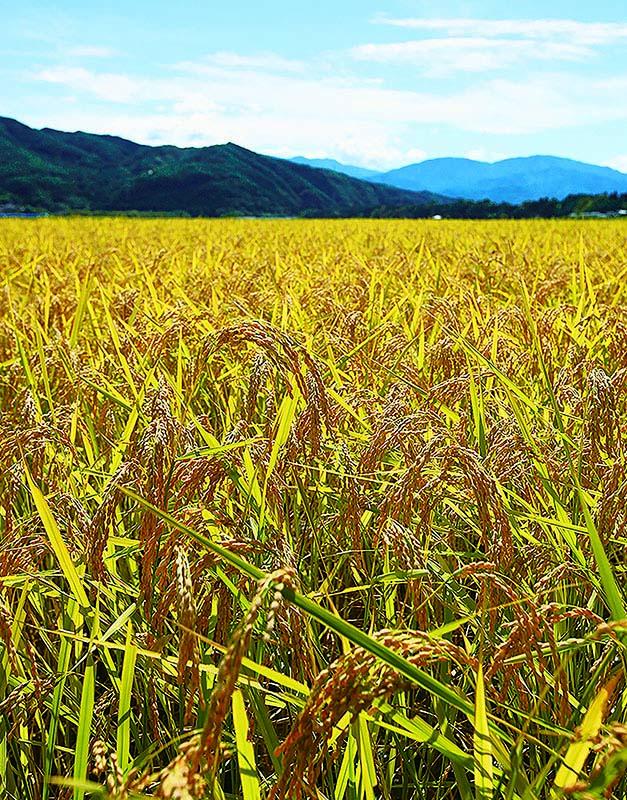 特別栽培米 養土藻米3kg
