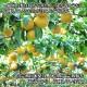 新潟県産 完熟日本梨 計5kg前後 梨 完熟 フルーツ 果物 ギフト 北国からの贈り物 送料無料 ◆出荷予定:9月初旬〜12月上旬 ※日時指定不可
