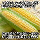 北海道産 トウモロコシ 食べ比べセット  11本 とうもろこし/BBQ/バーベキュー/雪の妖精/ホワイトコーン/スイートコーン/おおもの/イエローコーン 送料無料 ◆出荷予定:8月下旬-9月下旬 ※日時指定不可