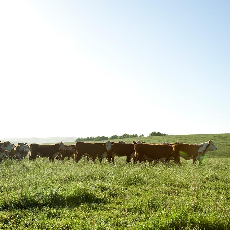 【量り売り】シルバーファーンファームス社 ニュージーランド牧草牛 冷凍 牛 ホホ(チーク)ブロック プレミアムステアグレード【1パック(2枚入り):0.9〜1.5kg】