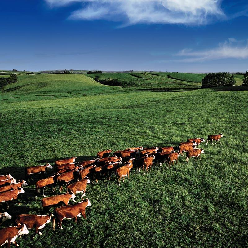 【量り売り】シルバーファーンファームス社 ニュージーランド牧草牛 冷凍 牛 タン ブロック(皮付き)プレミアムステアグレード【1パック:0.9〜1.4kg】