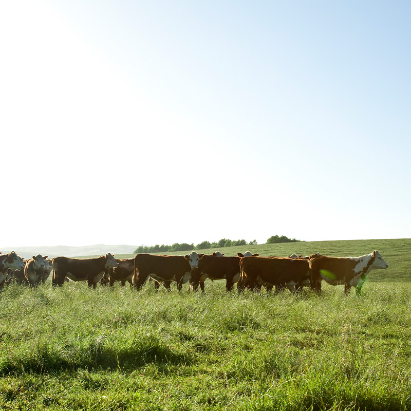 【量り売り】シルバーファーンファームス社 ニュージーランド牧草牛 チルド 牛サーロイン正肉(ストリップロイン) プレミアムステアグレード【1本:3.5〜6.0kg】
