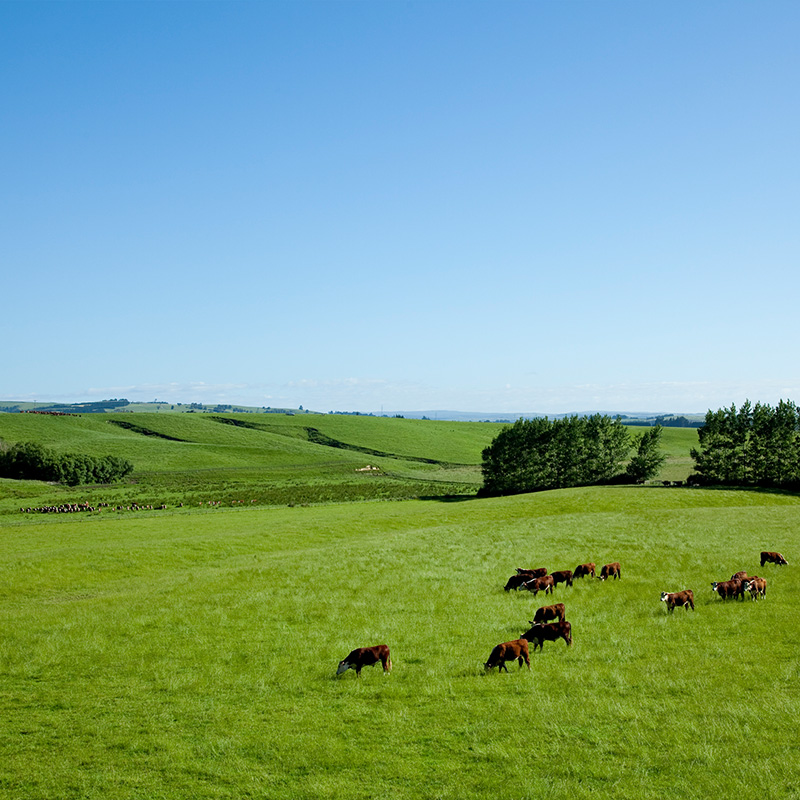 【量り売り】シルバーファーンファームス社 ニュージーランド牧草牛 チルド 牛リブロース正肉(キューブロール) プレミアムステアグレード【1本:4.0〜5.0kg】