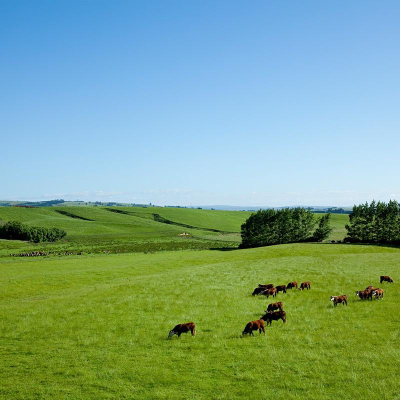 【量り売り】シルバーファーンファームス社 ニュージーランド牧草牛 チルド 牛ヒレ正肉(テンダーロイン) プレミアムステアグレード【1本:2.0〜2.8kg】