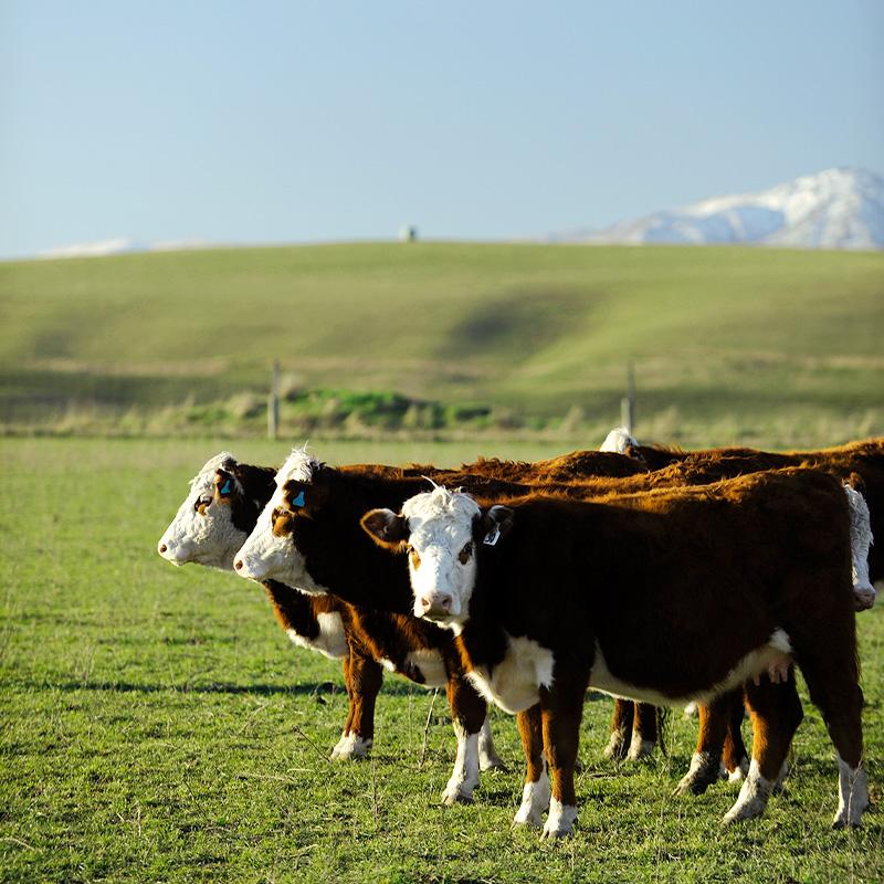 【量り売り】シルバーファーンファームス社 ニュージーランド牧草牛 チルド 牛ヒレ正肉(テンダーロイン) リザーブグレード【1本:2.0〜2.8kg】