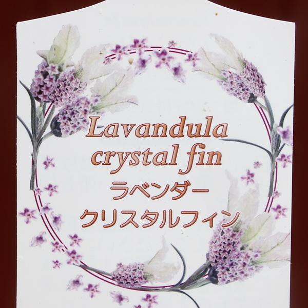 【5号鉢】フレンチラベンダー「クリスタルフィン」
