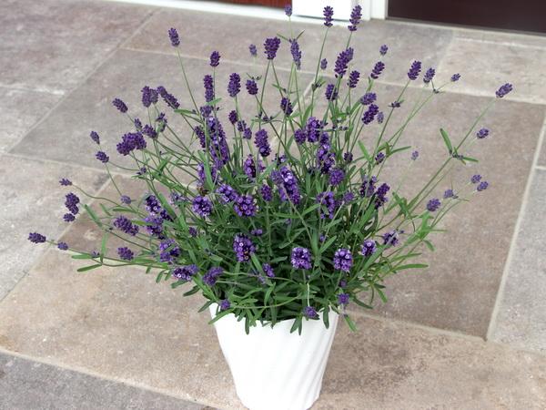 【5号鉢】四季咲きのイングリッシュラベンダー「アロマティコ・ブルー」