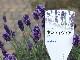 【5号鉢】四季咲きのイングリッシュラベンダー「センティヴィアブルー」