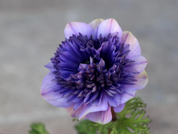 八重咲きアネモネ・凛々花(りりか)☆画像の現品☆6番(3.5号ポット)
