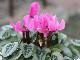 ガーデンシクラメン(シルバーリーフ)「ピンク」