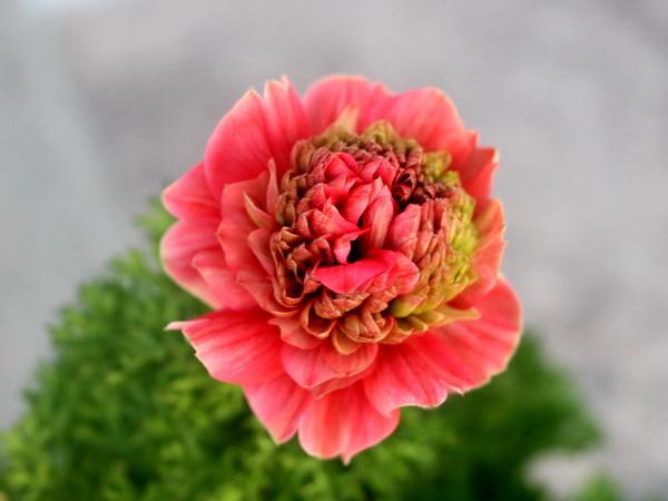 八重咲きアネモネ・凛々花(りりか)☆画像の現品☆9番(3.5号ポット)