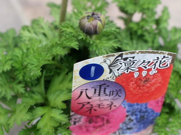 八重咲きアネモネ・凛々花(りりか)☆画像の現品1点物☆1番(3.5号ポット)