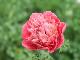 八重咲きアネモネ・凛々花(りりか)☆画像の現品1点物☆20番(3号ロングポット)