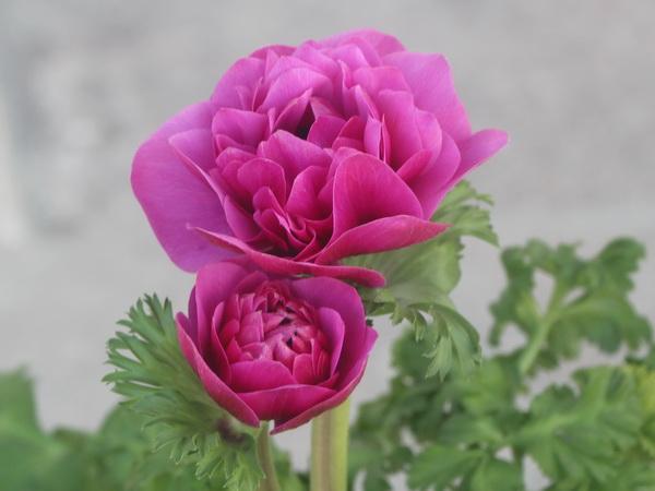 八重咲きアネモネ・凛々花(りりか)☆画像の現品1点物☆21番(3号ロングポット)