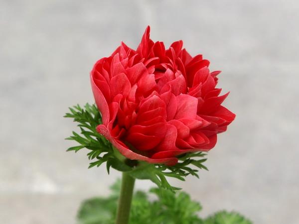 八重咲きアネモネ・凛々花(りりか)☆画像の現品1点物☆22番(3号ロングポット)