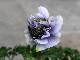 八重咲きアネモネ・凛々花(りりか)☆画像の現品1点物☆2番(3.5号ポット)