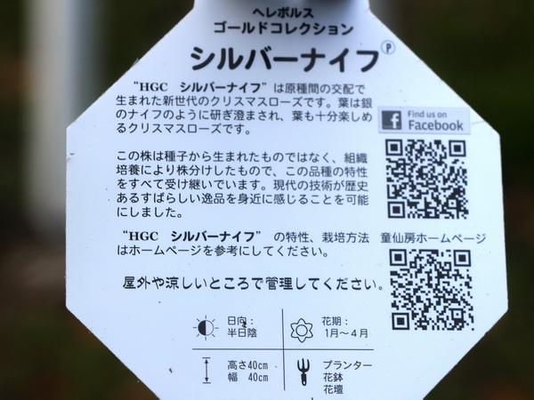 【7号スリット鉢】現品1点限り★クリスマスローズ・HGC「シルバーナイフ」