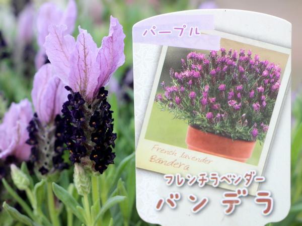 四季咲きフレンチラベンダー・バンデラ「パープル」(大ポット)