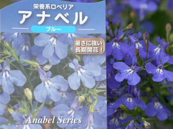 宿根ロベリア・アナベル「ブルー」(大ポット)