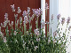 【4号鉢】ピンク花のイングリッシュラベンダー