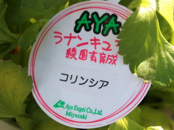綾園芸さんのラナンキュラス「コリンシア」(5号鉢)