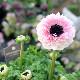 画像の現品!八重咲きアネモネ「アンアリス」【5号鉢】1番
