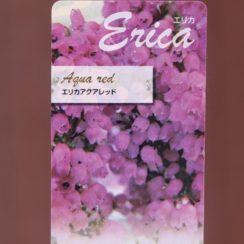 エリカ「アクアレッド」