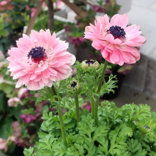 画像の現品!八重咲きアネモネ「アンアリス」【5号鉢】4番