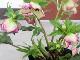 【5.5号ポット】現品1点限り★クリスマスローズ・アネモネ咲き「チェリーシフォン」