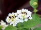 【5号スリット鉢】スーパーランタナ「ムーンホワイト」